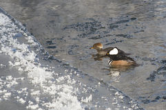 Pair of Hooded Mergansers Swimming in a Cold Slushy Winter River Royalty Free Stock Photo