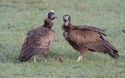 Hooded Vultures royalty free stock photo