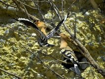 Pair of Hoopoe bords. Pair of Hoopoe birds perched in tree branches with nest opening in rocky background stock photography