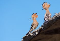 Male and female Hoopoes talks on a roof of some building royalty free stock image