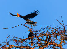 A pair of hornbills over the jungle at dawn Stock Photo