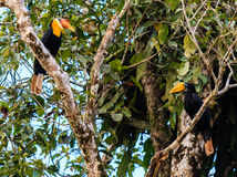 Pair of Hornbills in a tropical rainforest. A pair of Rhinoceros Hornbills in a jungle tree in Borneo royalty free stock image