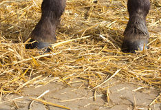 A pair hors hooves. Horse hooves are standing in the straw Royalty Free Stock Photo