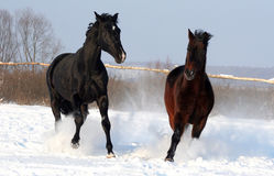 A pair of horses Royalty Free Stock Images