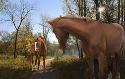 Pair of horses on an autumn walk. A pair of horses on an autumn walk in the beautiful woods Stock Image
