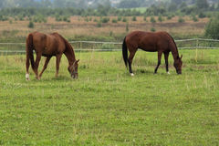 Pair horses. Pair of chestnut horses on summer pasture Royalty Free Stock Images