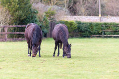 Pair of Horses Eating Grass. A close study of a pair of horses eating grass royalty free stock photography