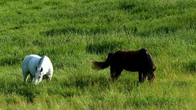 Pair of horses eating grazing fresh green grass in farm pasture. On a summer evening stock video footage