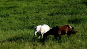 Pair of horses eating grazing fresh green grass in farm pasture. On a summer evening stock footage