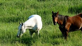Pair of horses eating grazing fresh green grass in farm pasture. On a summer evening stock video