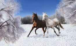 Pair of horses galloping through the snow Royalty Free Stock Photo