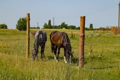 A pair of horses graze on the fenced pasture stock photo