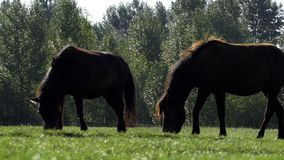 A pair of horses graze grass on a lawn in summer in slo-mo. An exciting view of two brown horses grazing grass on a green lawn on a sunny day in summer in slow stock footage