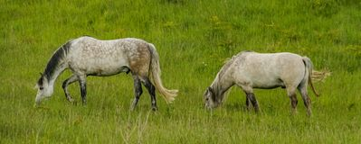 Two Horses Grazing. A pair of horses grazing on grassland stock images