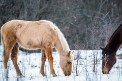 Pair of horses grazing in winter Royalty Free Stock Images