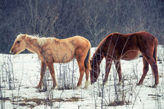Pair of horses grazing in winter Stock Photography