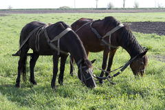 Pair of horses grazing in a work break season planting. Stock Images