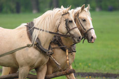 Pair of horses hard working Royalty Free Stock Photography
