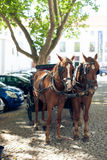Pair of horses in harness on city street Royalty Free Stock Photo