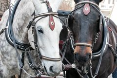 Pair of horses in harness muzzles closeup. View royalty free stock photos