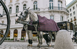 Pair of horses harnessed to a carriage. Royalty Free Stock Images