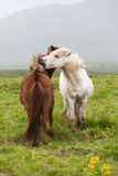 Pair of horses, Iceland Royalty Free Stock Image