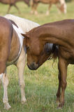 Pair of horses nuzzling. A pair of horses nuzzling in a field Royalty Free Stock Photo