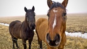 Horses, Nevada. A pair of horses - one light brown and one dark brown standing in a field with snow a misty fog near Carson City, Nevada royalty free stock image