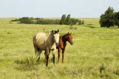 Pair of horses in the pasture. A pair of horses in a pasture look on curiously Royalty Free Stock Images