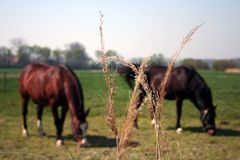 Horses on pasture in Vlissingen Netherlands. A pair of Horses on a pasture in Vlissingen, Netherlands royalty free stock photo