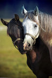 A pair of horses. On psture Royalty Free Stock Image
