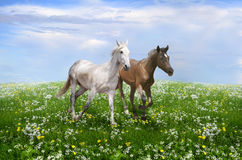 A pair of horses running on a bloss. Romantic picture carefree running horses in the middle of a blossoming meadow Stock Images