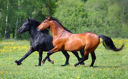 Pair of horses running in the field Royalty Free Stock Photography