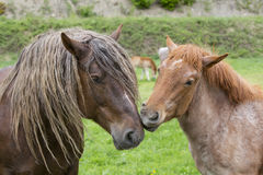 A pair of horses showing affection Stock Photos