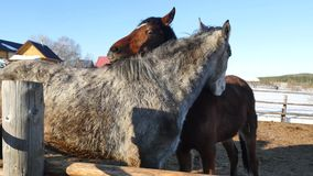 A pair of horses showing affection. White and brown horse cuddling stock video
