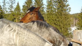 A pair of horses showing affection. White and brown horse cuddling stock video footage