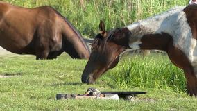 A pair of horses standing on a lake bank in slow motion. Two brown horses standing on a lake bank in slow motion. One of them grazes green grass. The second one stock video footage