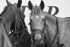 Pair of Horses Heads. Two horses, one looking at the camera and one looking away stock photo
