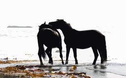 Pair  horses wild Stock Photos