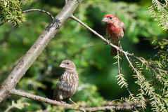 A Pair of House Finch Perched in a Tree Stock Image