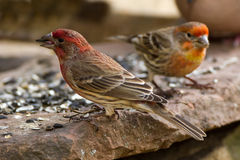 Pair of House Finches Stock Image