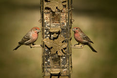A Pair of House Finches - Haemorhous mexicanus. This is a matching pair of House Finches, Haemorhous mexicanus, sitting on a feeder in Guntersville Alabama USA royalty free stock photography