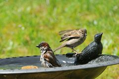Pair of house sparrow in a bird bath. In a garden Royalty Free Stock Photo