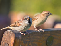 Pair of House Sparrow Royalty Free Stock Images