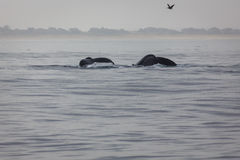 Pair of humback whale tails. Close up of pair of humback whale tails side by side with both bodies submerged Stock Photos