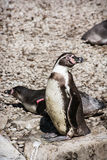 Pair of a Humboldt Penguins Royalty Free Stock Photo