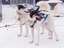 Pair of huskies pulling sleigh Stock Photography