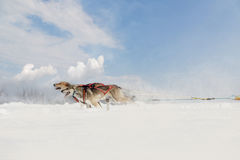 A pair of husky dog runs wintry sleigh harnessed Royalty Free Stock Photos