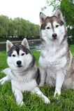 Pair of husky dogs outdoors Royalty Free Stock Photos