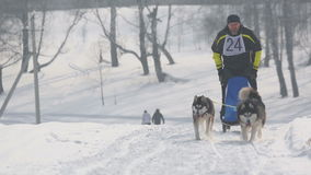 Pair of husky sled dogs with dog-driver stock video footage
